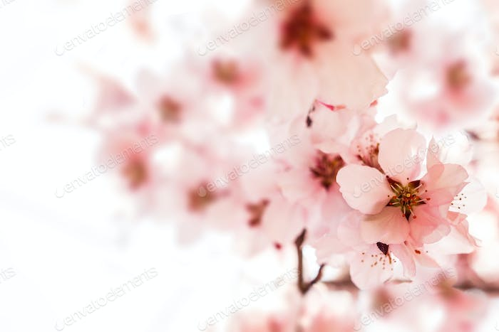 Beautiful blossoming branch