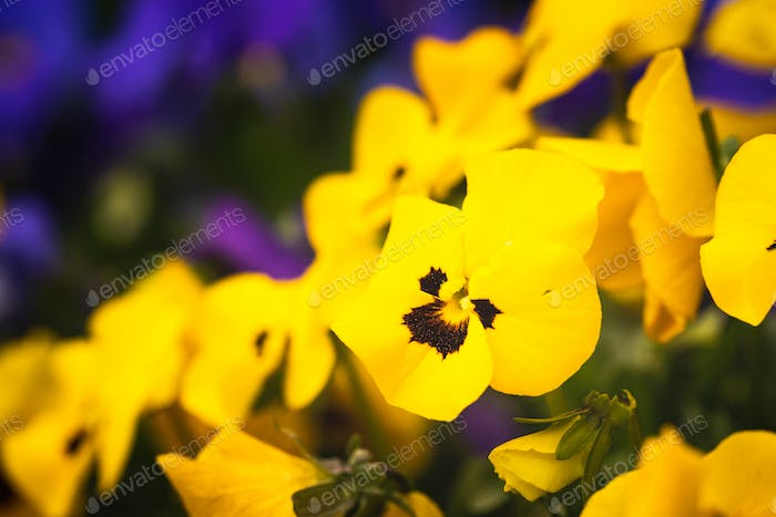 Close-up shot of beautiful yellow pansy flowers