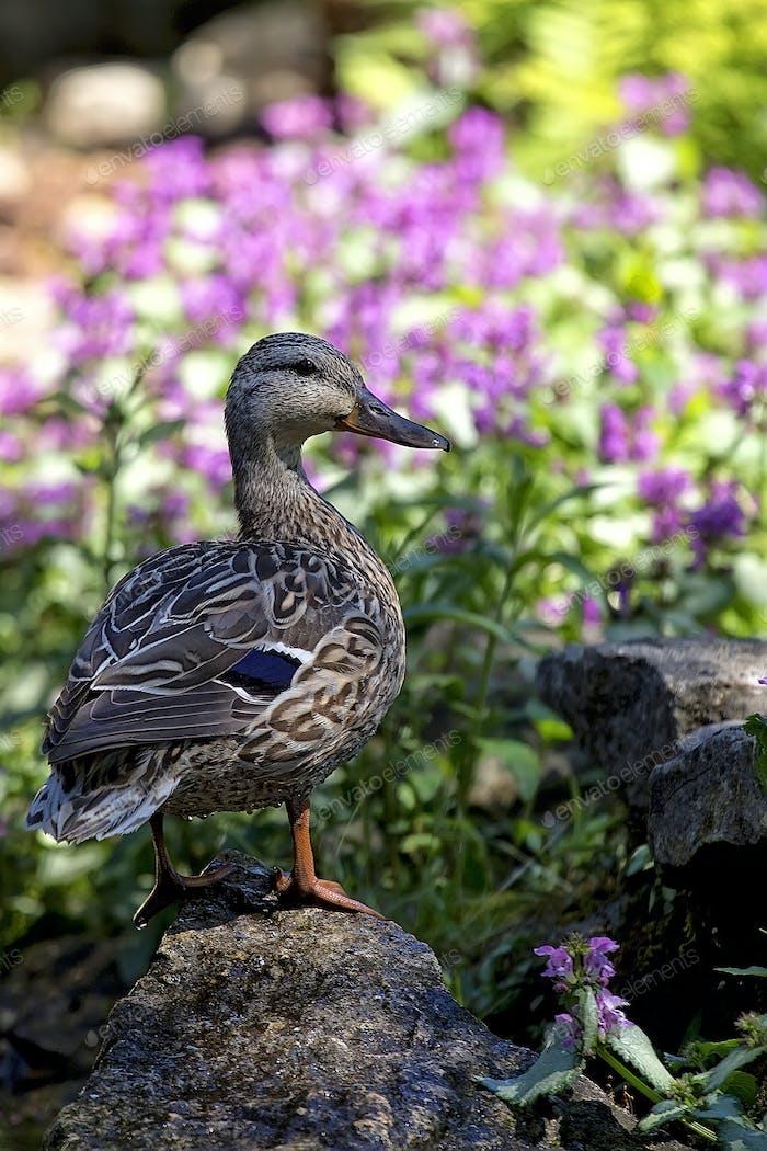 Duck in the wild