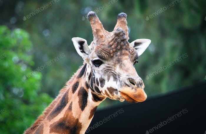 Giraffe Head Up Close