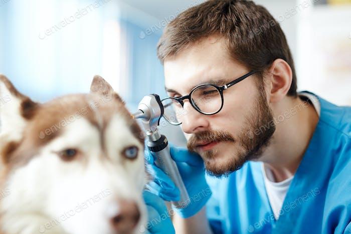 Veterinarian at work