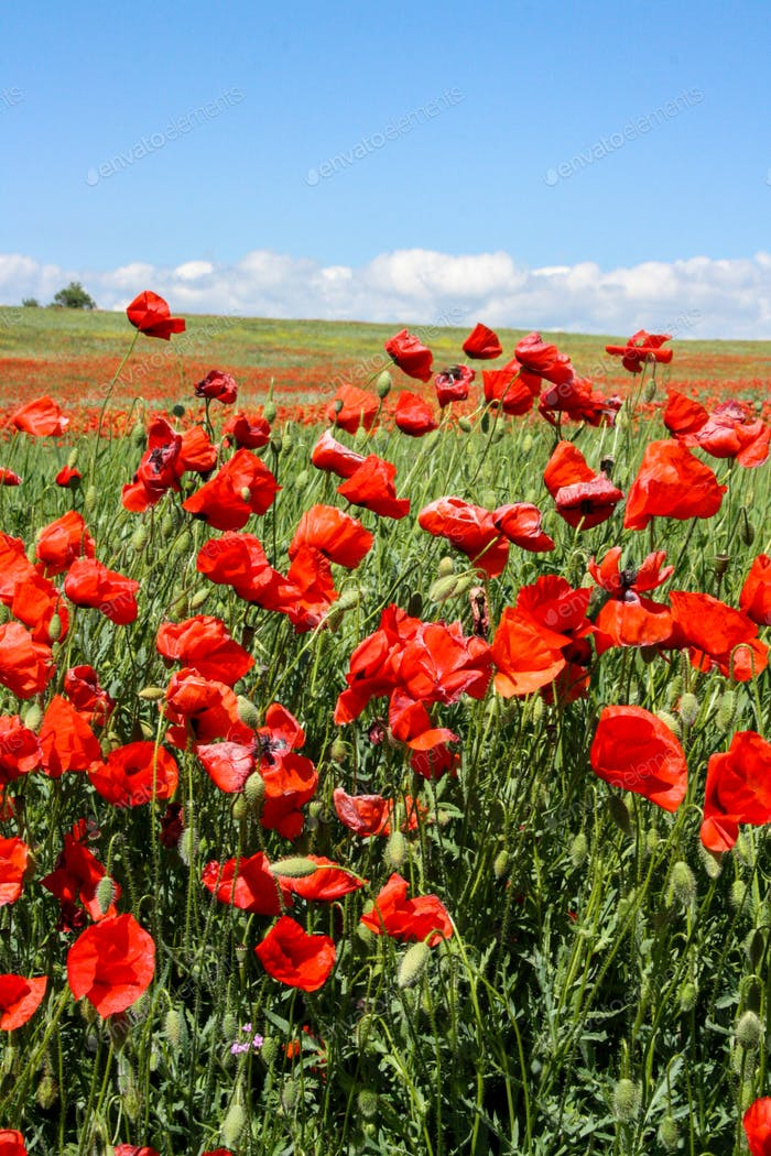 Beautiful summer colorful field of poppies in sunny day