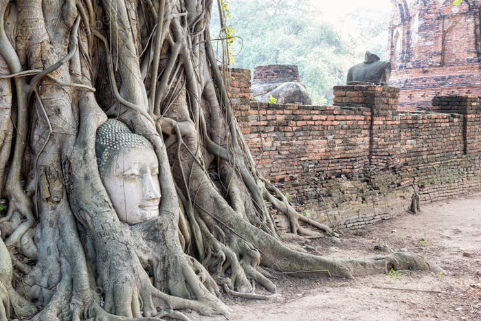 Head buddha statue in the roots tree