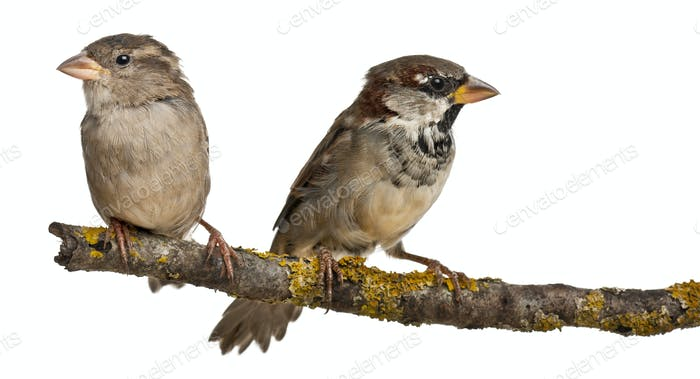 Male and Female House Sparrow, Passer domesticus, 4 months old, on a branch