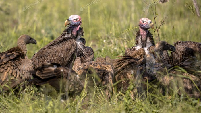 African vultures scavenging