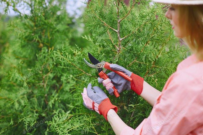 Cutting thuja branches