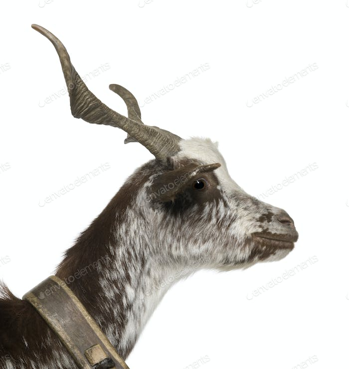 Close-up profile of female Rove goat, 3 years old, standing in front of white background