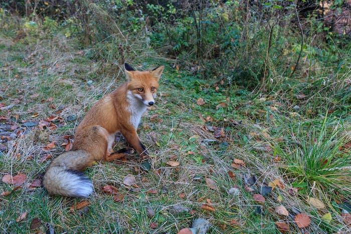 european red fox (vulpes vulpes)