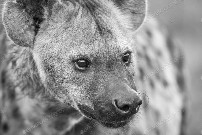 Close up of Spotted hyena in black and white.