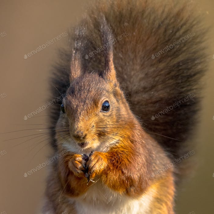 Red squirrel eating headshot