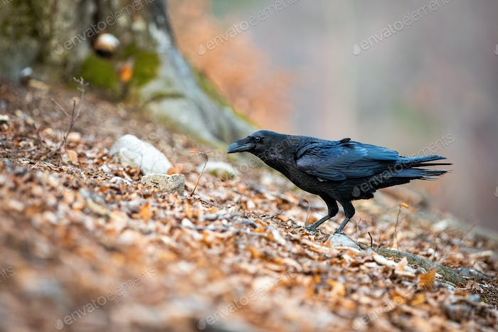 Dark common raven standing in leafs in autumn nature