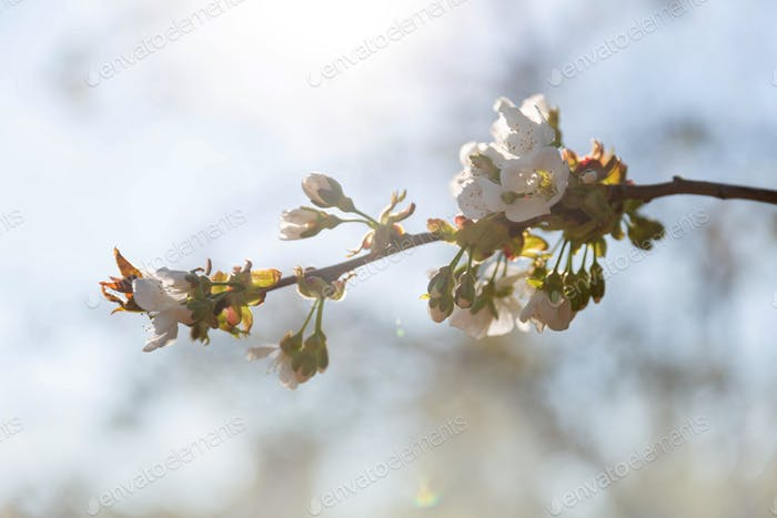 Blossoming apple tree branch