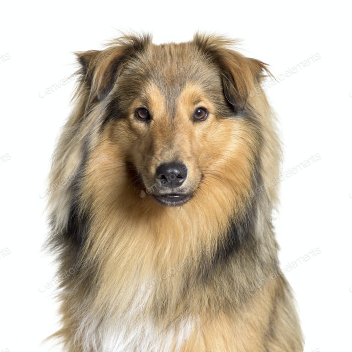 Close-up of a Cute Sheltie Dog, cut out
