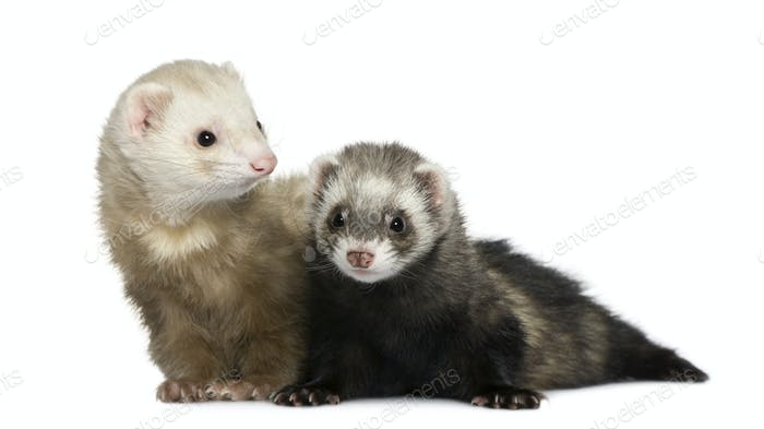 Two ferrets, 1 year old and 18 months old, in front of white background