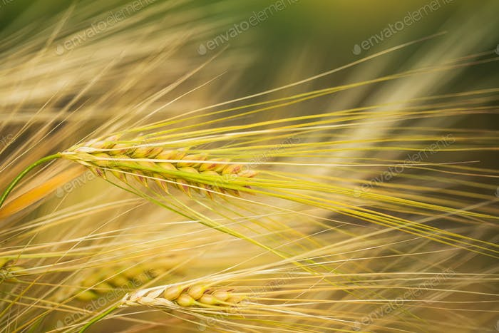Ripening ears of yellow wheat field.