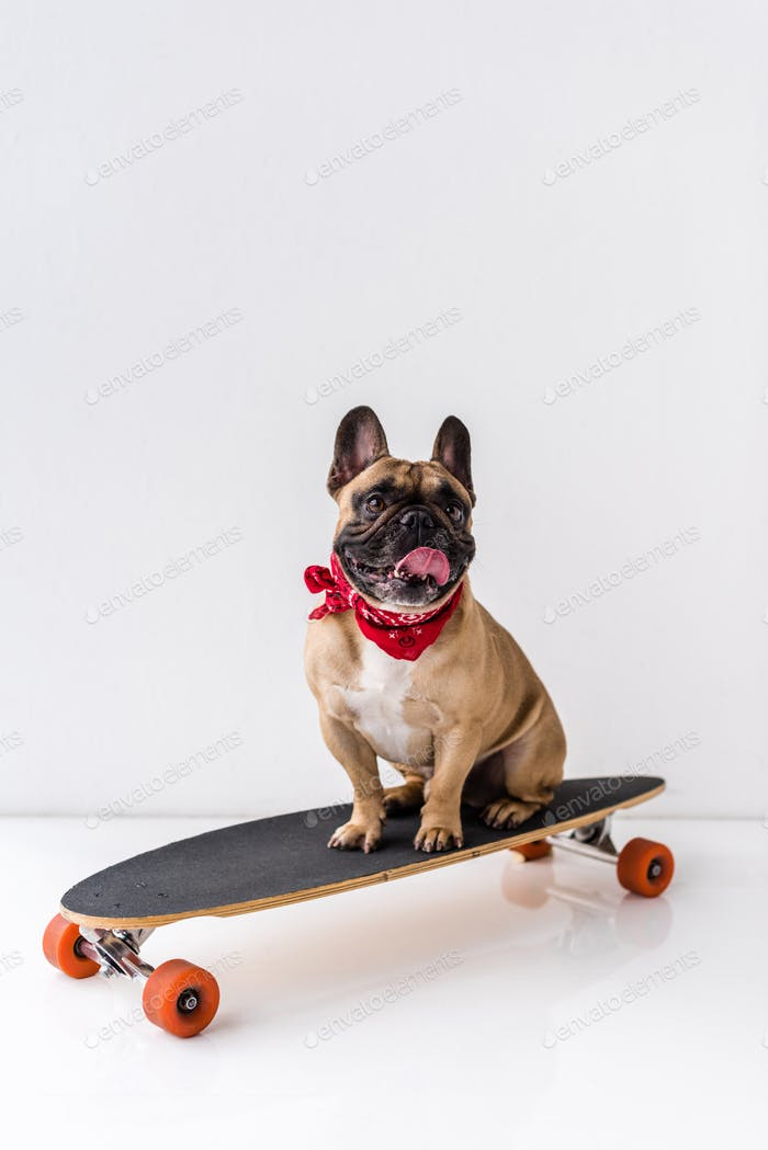 funny french bulldog sitting on skateboard and showing tongue out on grey