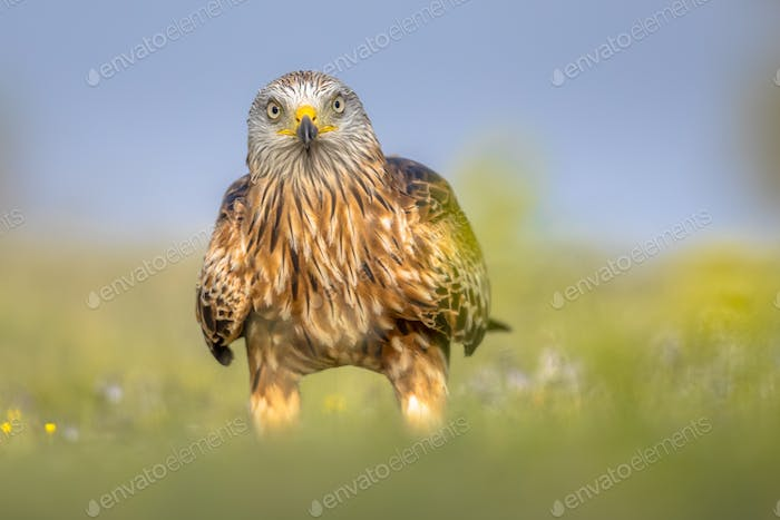 Red kite perched in green grass with flowers
