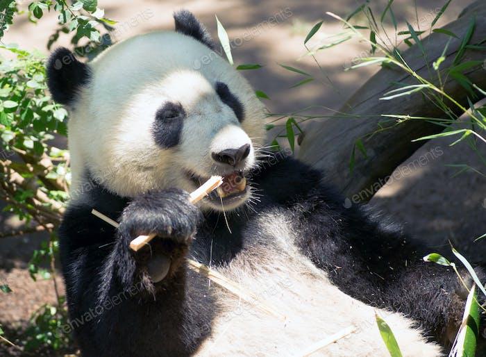 Panda gigante en peligro de extinción comiendo tallo de bambú
