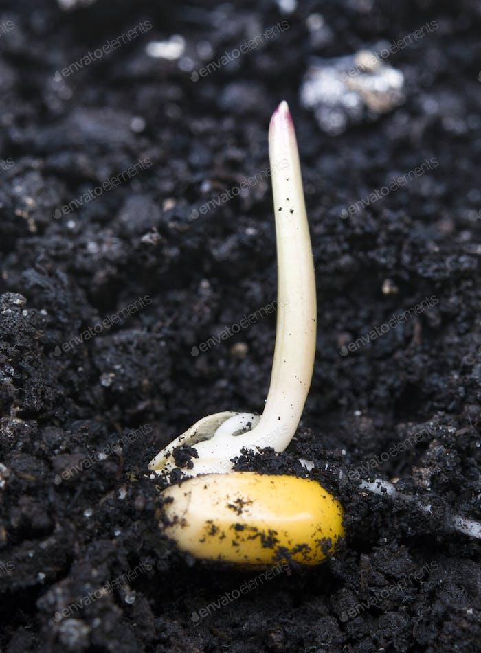 corn germination