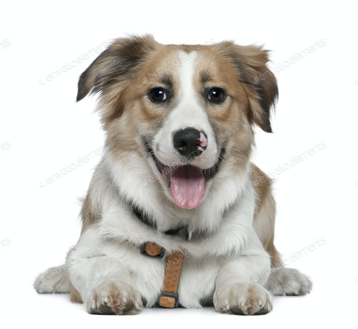 Border Collie, 8 months old, lying in front of white background