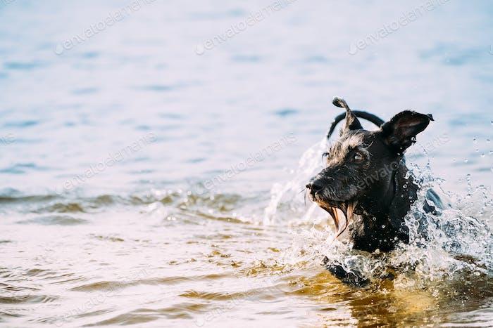 Bathing In Water Of River Lake Black Dog