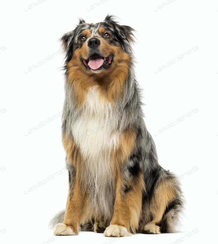 Australian shepherd blue merle, sitting, panting and looking up, 4 years old, isolated on white
