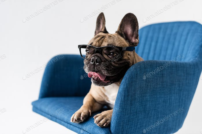 adorable funny french bulldog in eyeglasses lying on chair isolated on grey