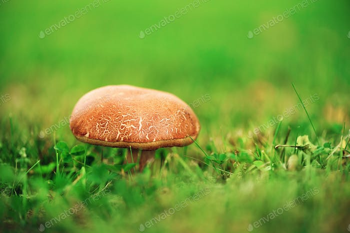 Large boletus in forest, edible mushroom porcini with sun leaks effect. Banner. Copy space. Found
