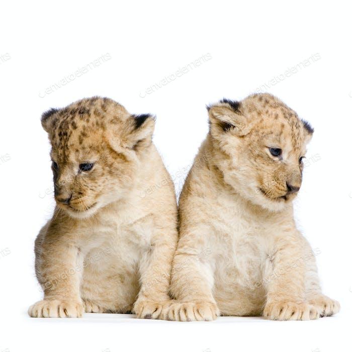 два Львиные Детеныши