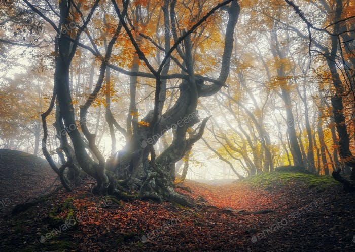 Mystical autumn forest in fog. Magical old trees in clouds