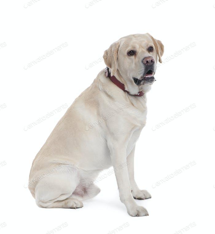 Labrador (5 Jahre)