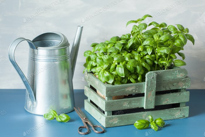 fresh basil herbs in rustic container, watering can