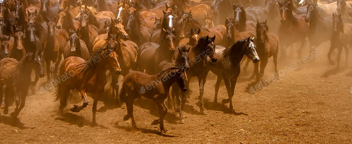 The Brown stallions
