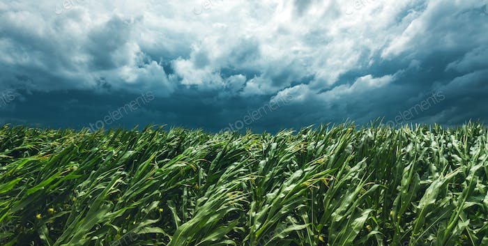 Corn field and stormy sky