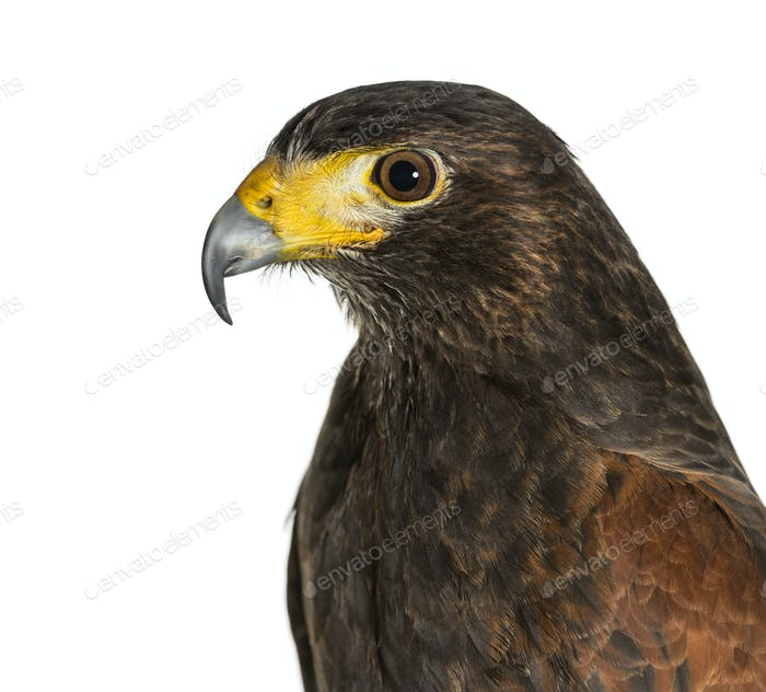 Profile of Harris's hawk, Parabuteo unicinctus, against white background