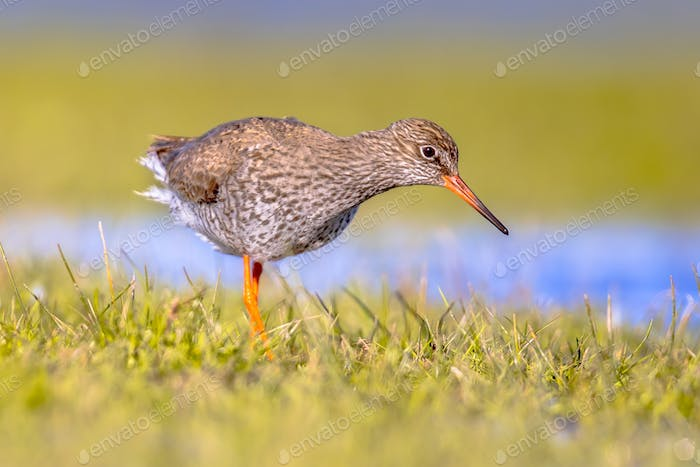 Common redshank wader bird in wetland