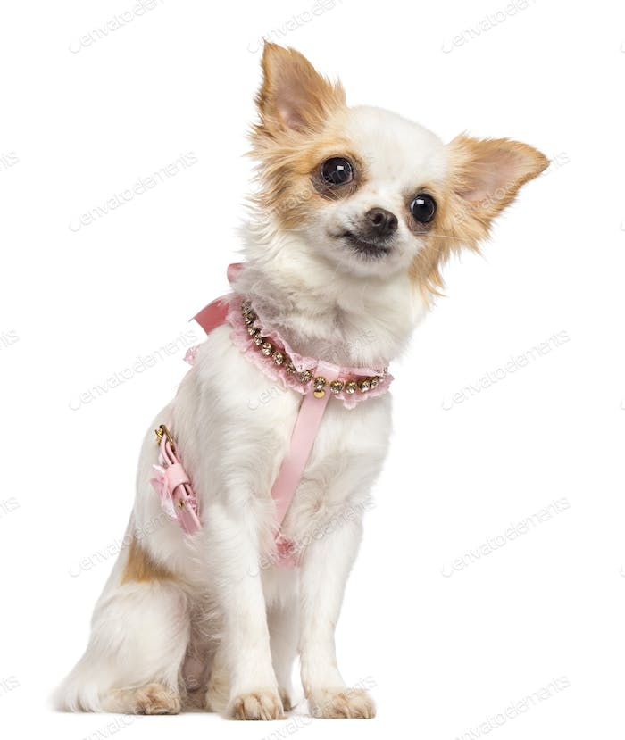 Chihuahua, 1 year old, wearing pink harness sitting and looking away against white background