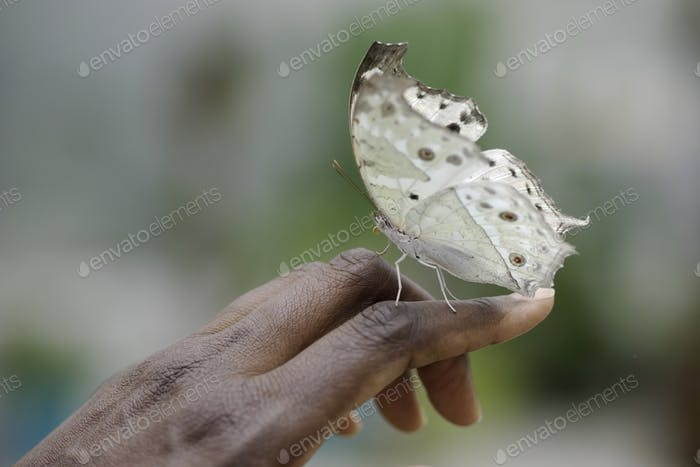 Freindly White butterfly on gentle woman black hand