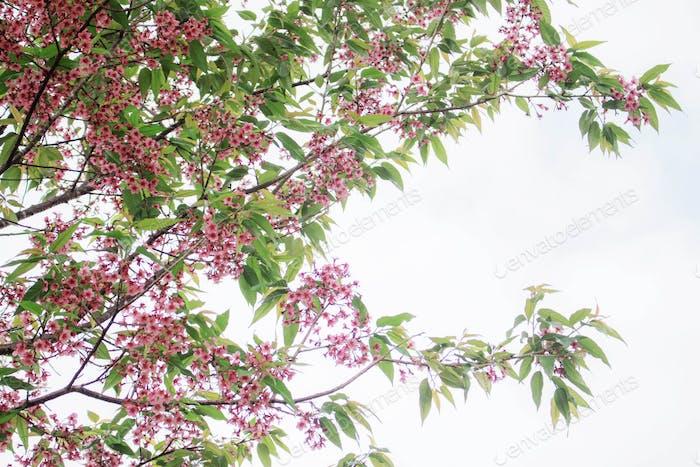 Sakura on sky