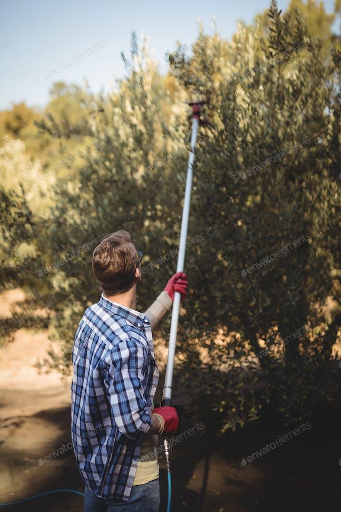 Young man using olive rake at farm
