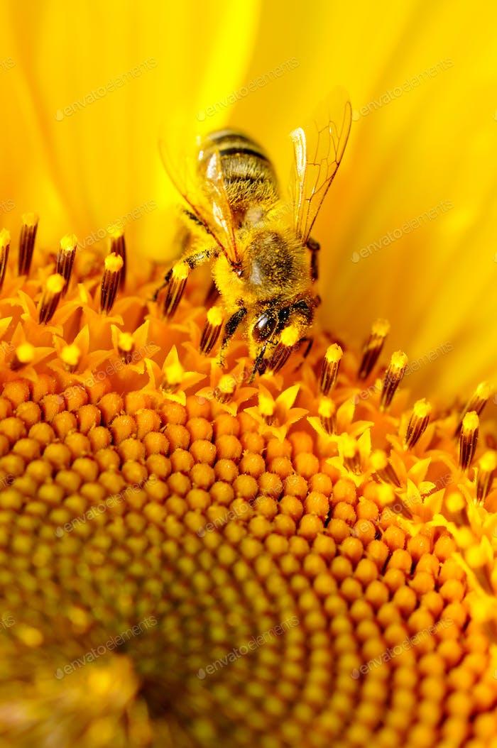 Close-up of honey bee sitting on summer yellow sunflower