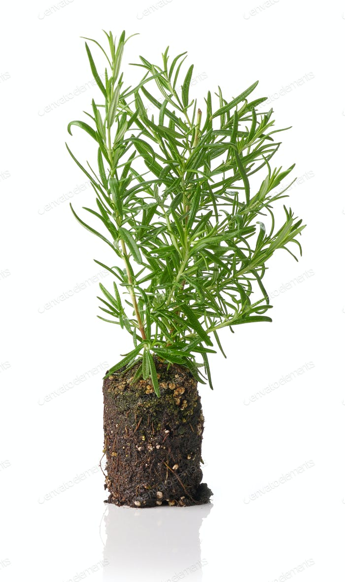 growing rosemary plant