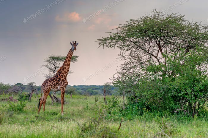 Giraffe in sunset savanna