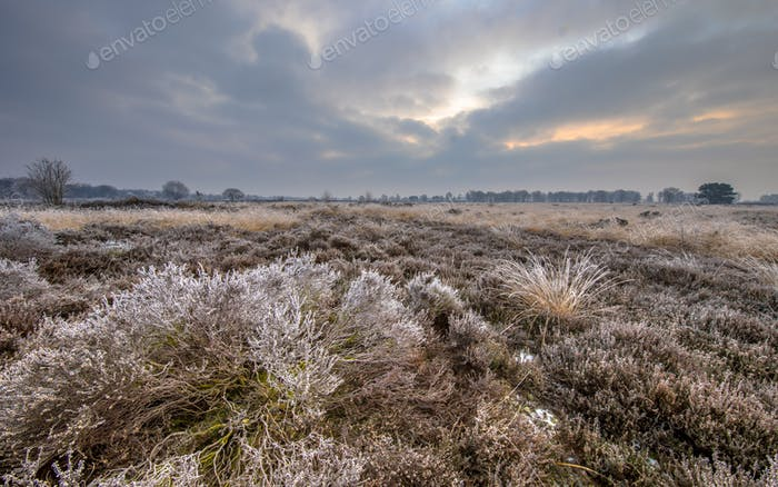 Winter morning sunrise over frosty heather
