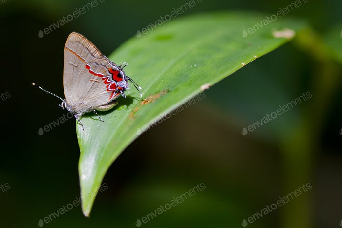 Hairstreak Butterfly on a Leaf in Costa Rica