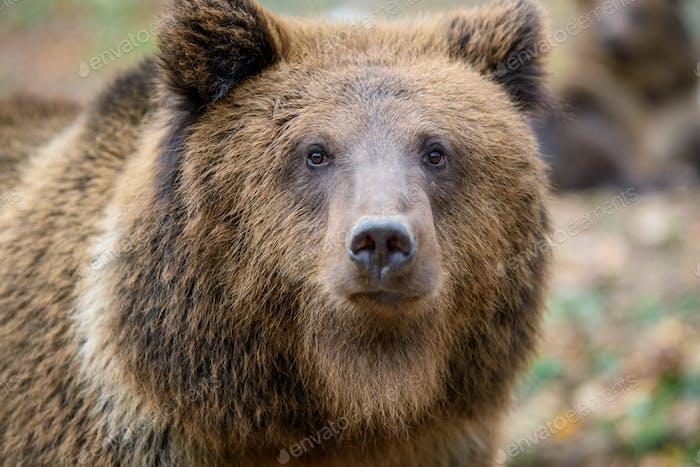 Retrato de oso marrón en primer plano. Peligro animal en hábitat de la naturaleza. Gran mamífero