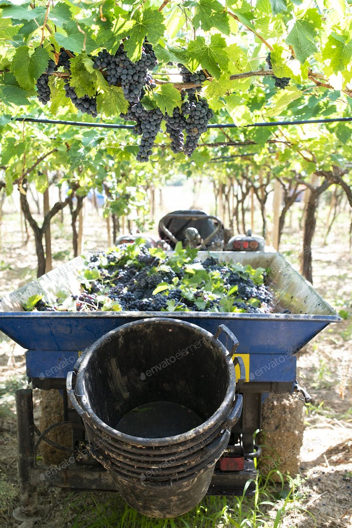 Tractor with trailer filled with red grapes for wine making.
