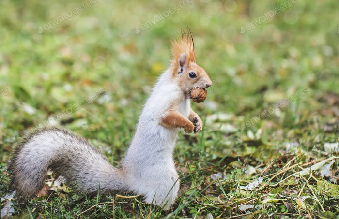 Red-gray squirrel hides nuts