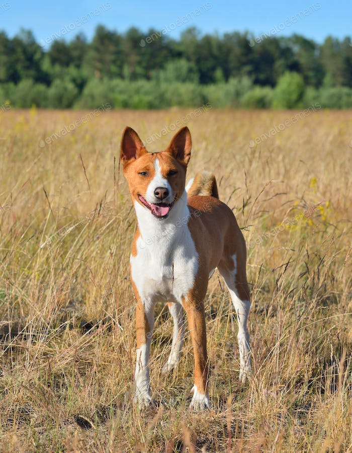 Basenji or African Bush Dog