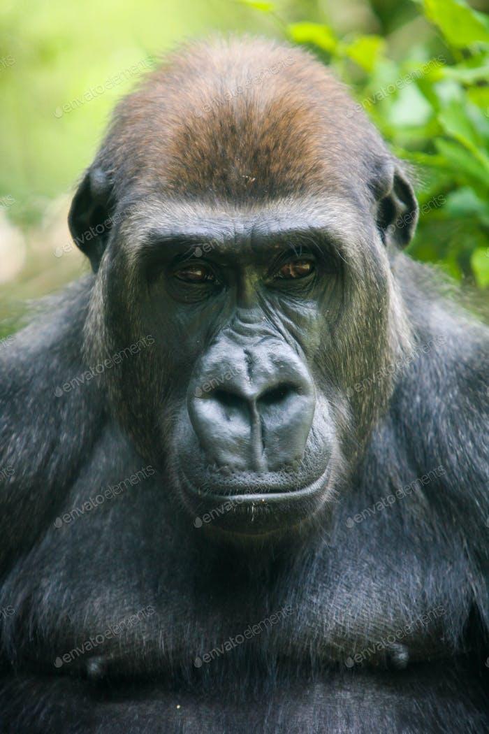 Nachdenkliche Gorilla